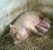 поросята крупной белой свинки
