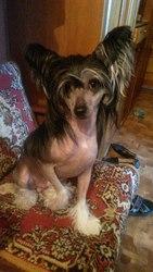 Китайская хохлатая собачка. Кобель приглашает на вязку