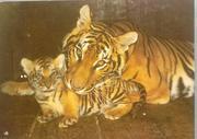 Открытка ''Бенгальские тигры''